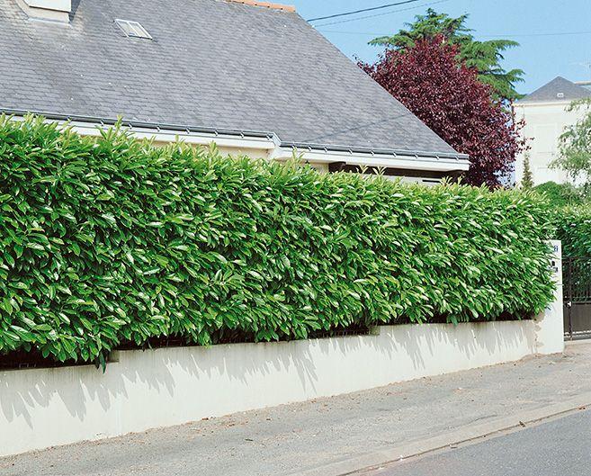 Prunus laurocerasus driveway street suburban