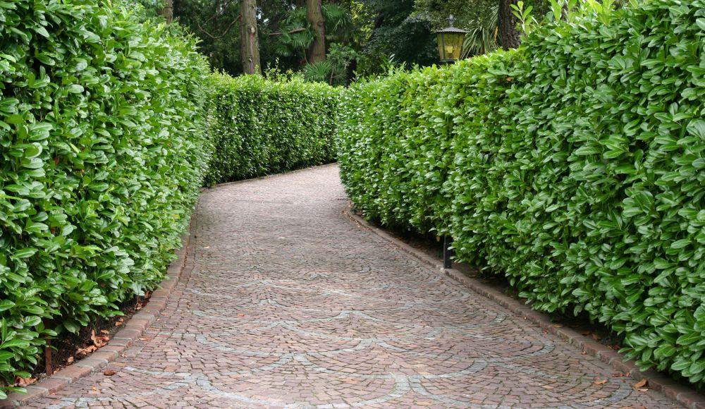 Prunus laurocerasus driveway estate