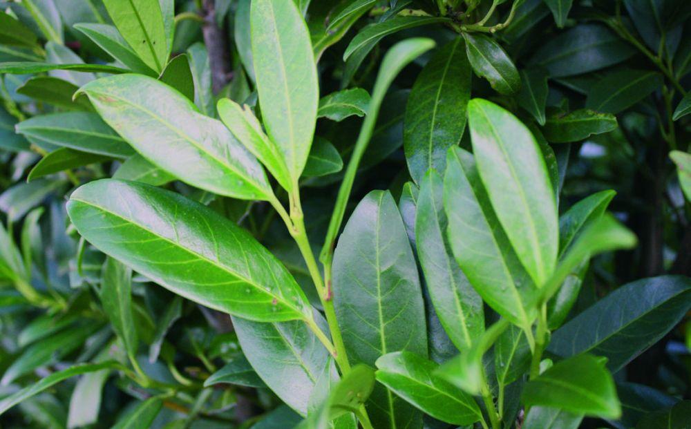 Prunus laurocerasus Herbergii similar skip
