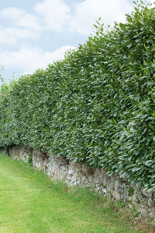 Prunus laurocerasus Schipkaensis estate