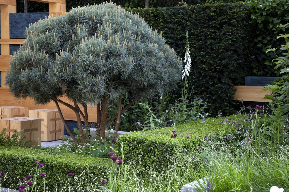 Buxus taxus garden formal urban suburban modern