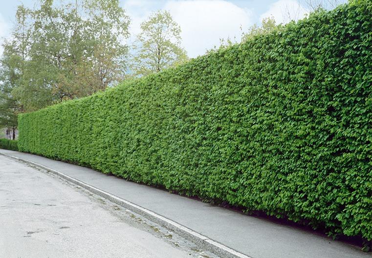 Fagus Carpinus Driveway street