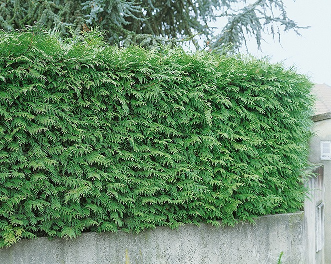 Thuja Green Giant wall estate suburban urban