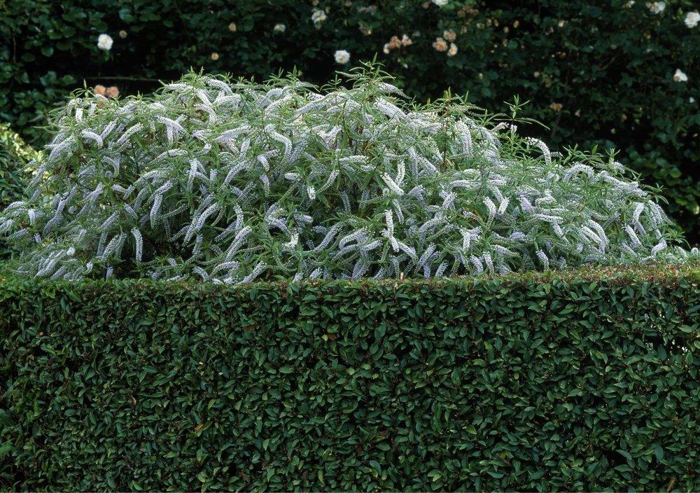 Prunus lusitanica wall