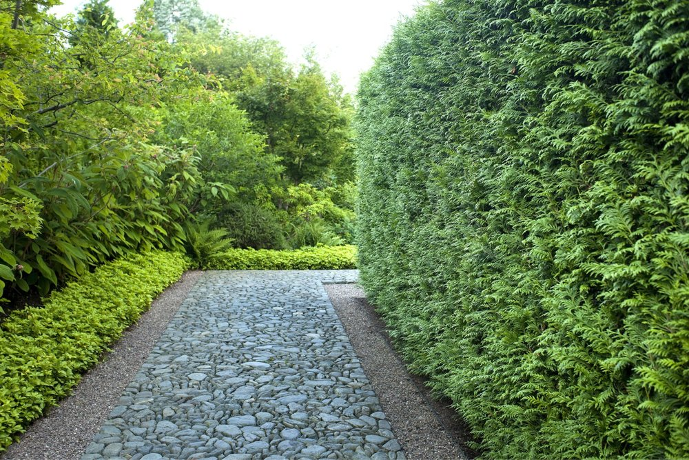 Thuja Green Giant formal Asian