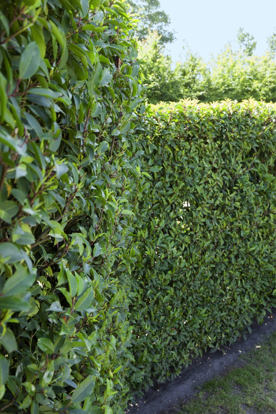 Prunus lusitanica fence hedge estate commercial