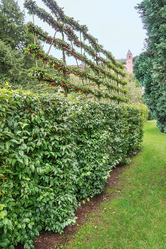 Cornus mas country topiary formal pleached lawn estate