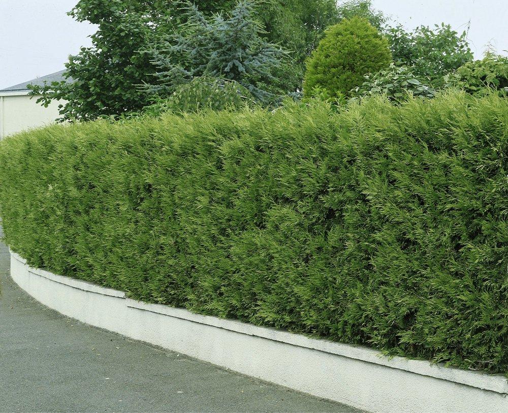 Thuja occidentalis wall driveway