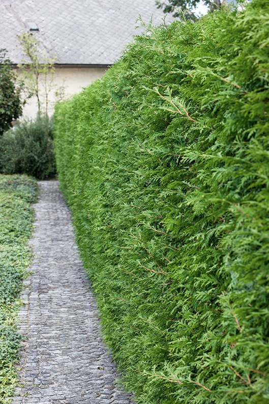 Thuja occidentalis asian driveway suburban