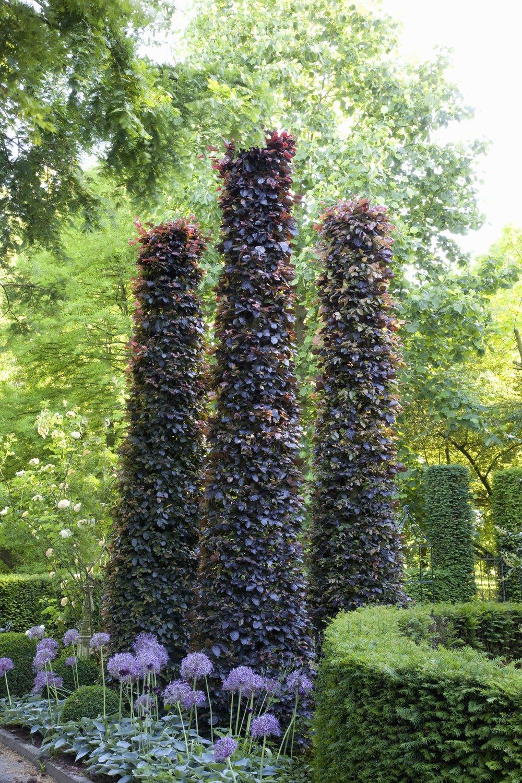 Fagus beech purple hedge sculpture estate vertical accent