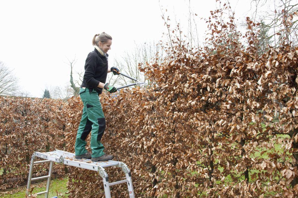 guide-pruning-47150 fagus hedge pruning winter.jpg