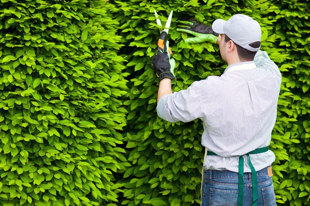 guide-pruning-shutterstock_137460074 fagus pruning faq maintenance.jpg
