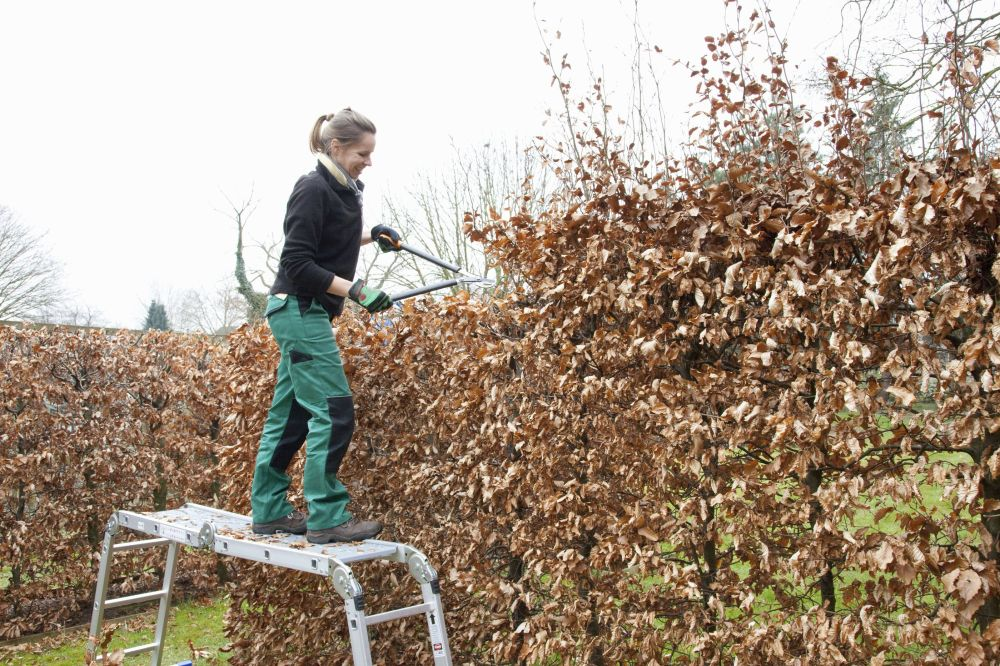 Fagus hedge pruning winter maintenance
