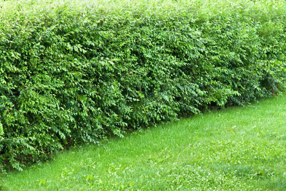 Hedge needs pruning faq