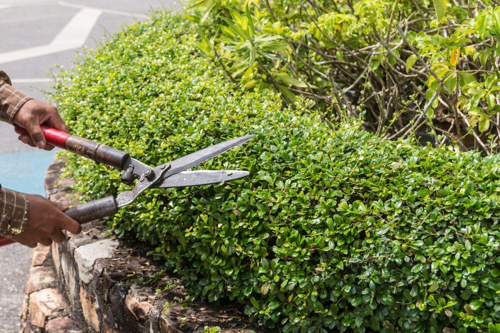 Pruning boxwood buxus border edge sidewalk
