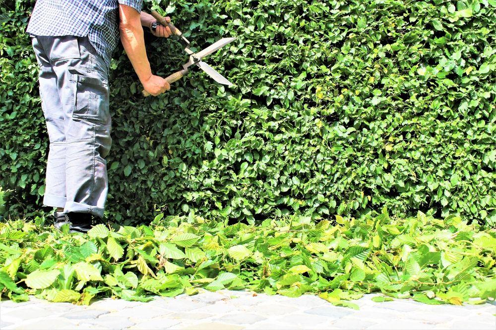 Fagus pruning maintenance faq