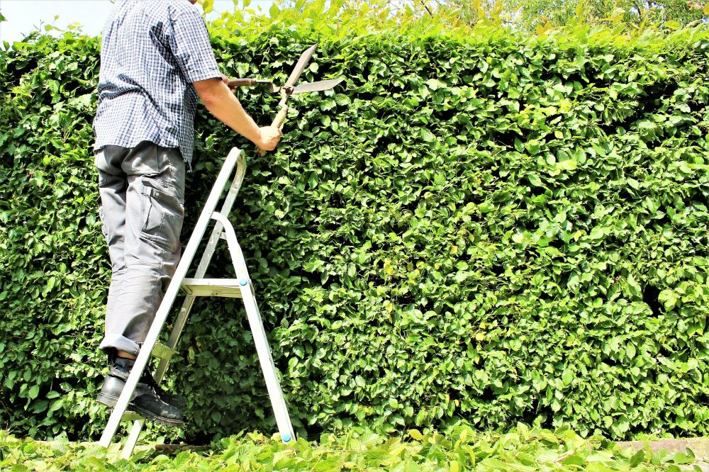 Fagus pruning trimming maintenance faq