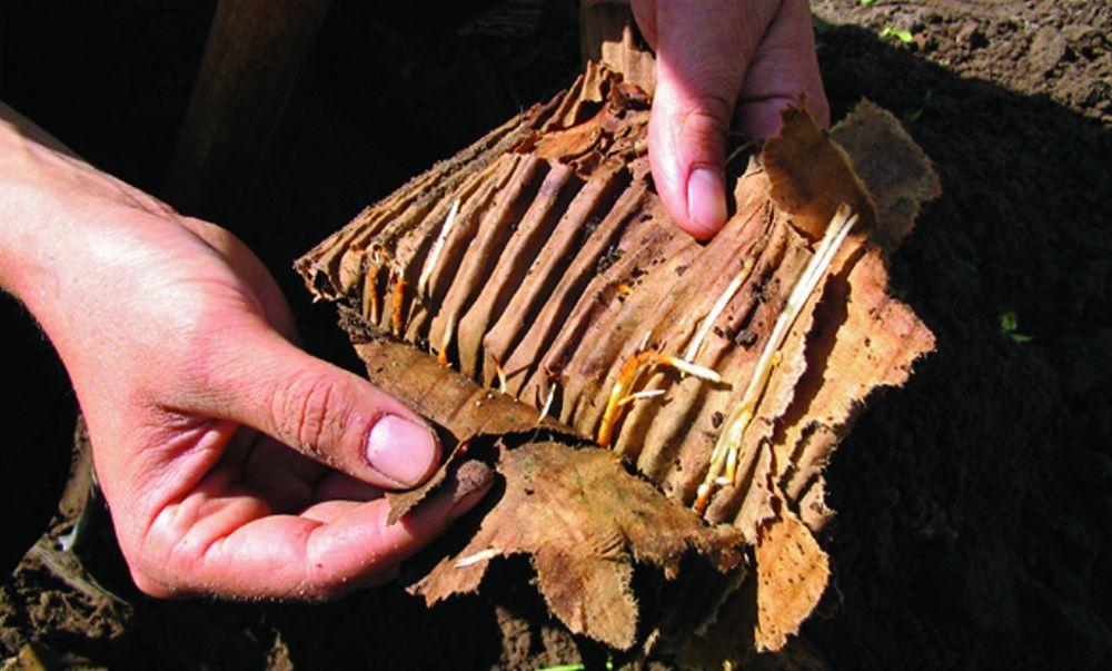 Planting faq biodegradable cardboard roots growing