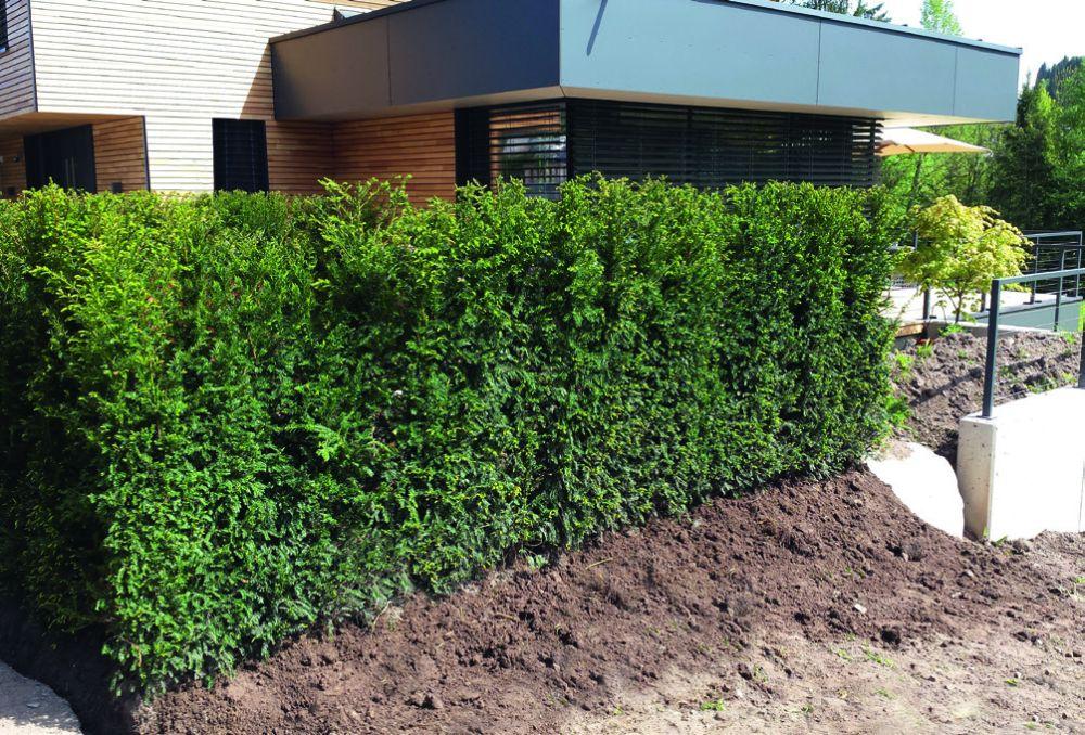 Taxus installation faq planting InstantHedge