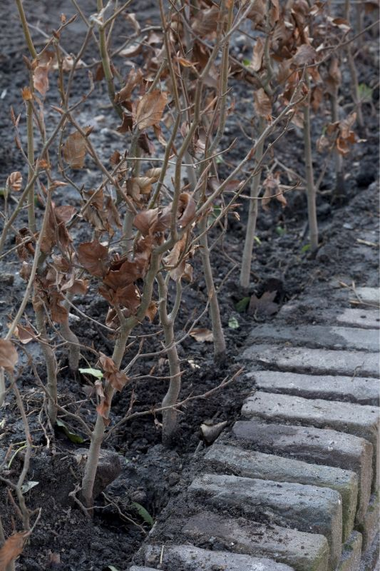 Fagus FAQ comparing InstantHedge to traditional crooked planting
