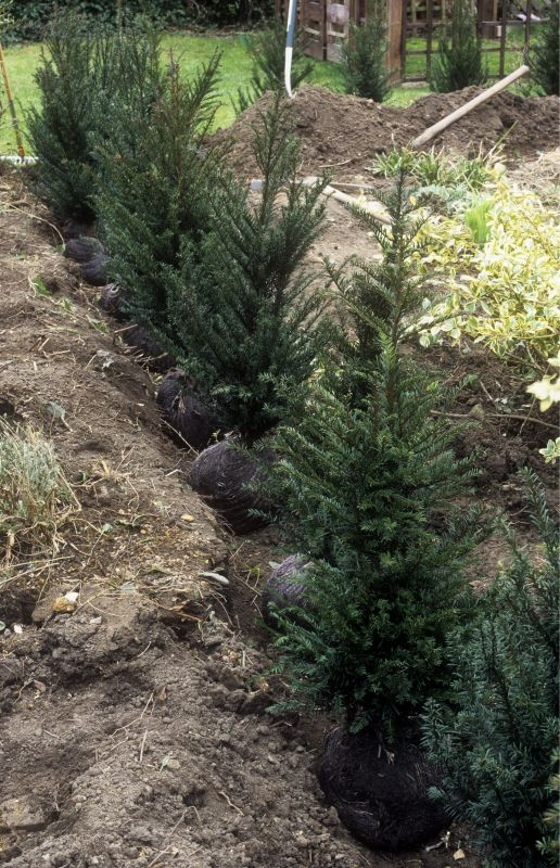 Taxus compare to InstantHedge yew planting straight FAQ