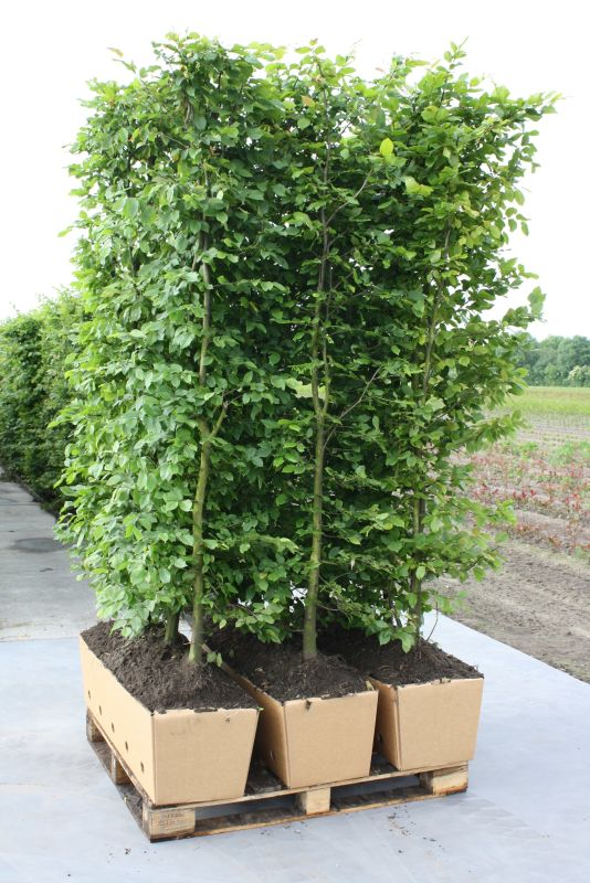 Fagus sylvatica staging harvested ready to ship biodegradable cardboard