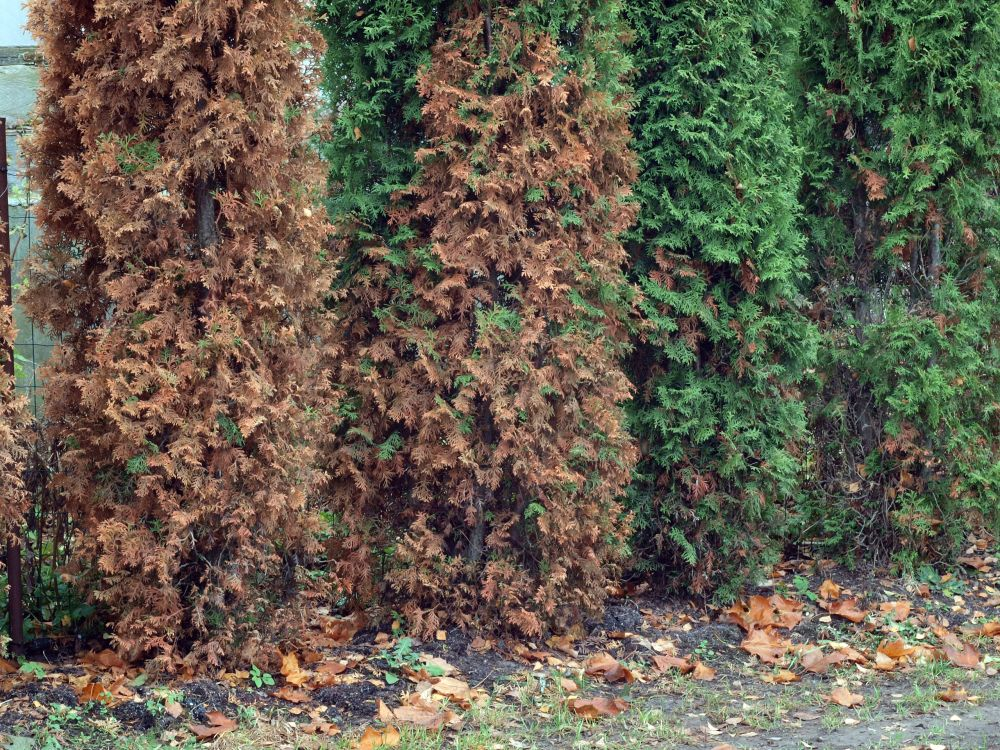 FAQ Smaragd emerald green why to plant  InstantHedge