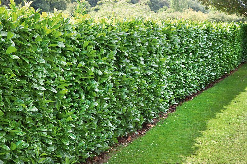 Prunus laurocerasus English laurel back yard hedge