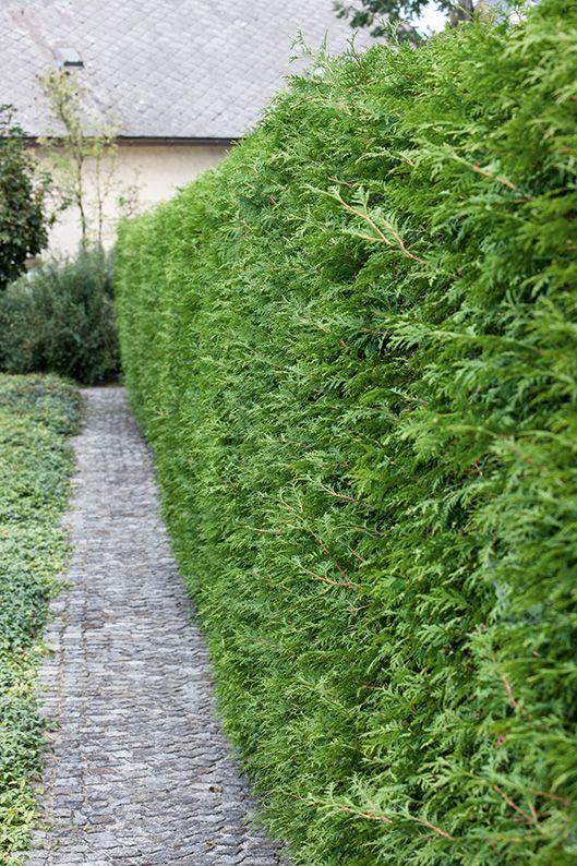 Thuja occidentalis asian driveway suburban stone path
