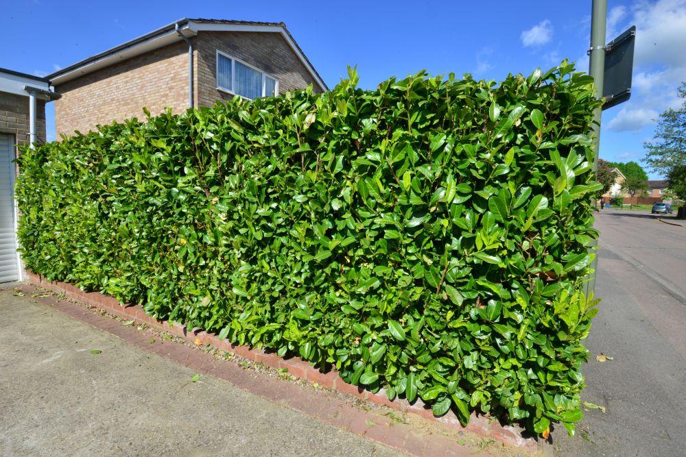 Prunus laurocerasus urban suburban driveway