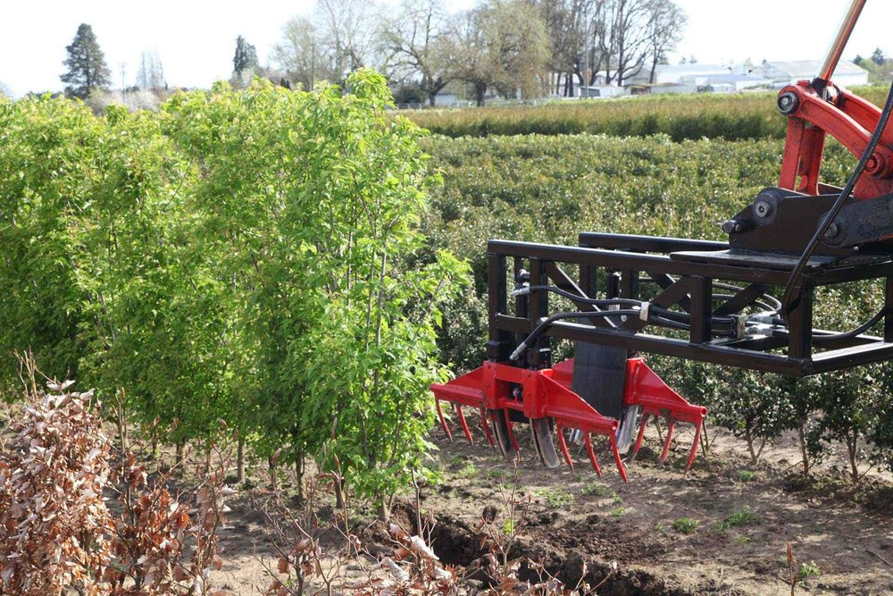 Custom hedge harvester - harvesting Flame Amur Maple Acer ginnala Flame harvesting