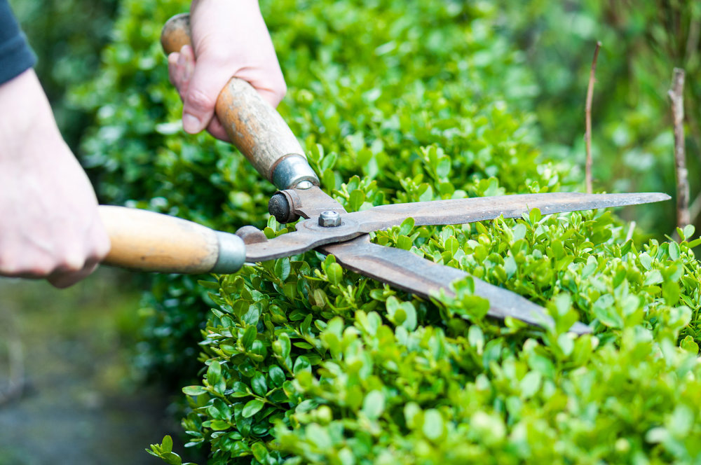 Buxus maintenance pruning shearing faq