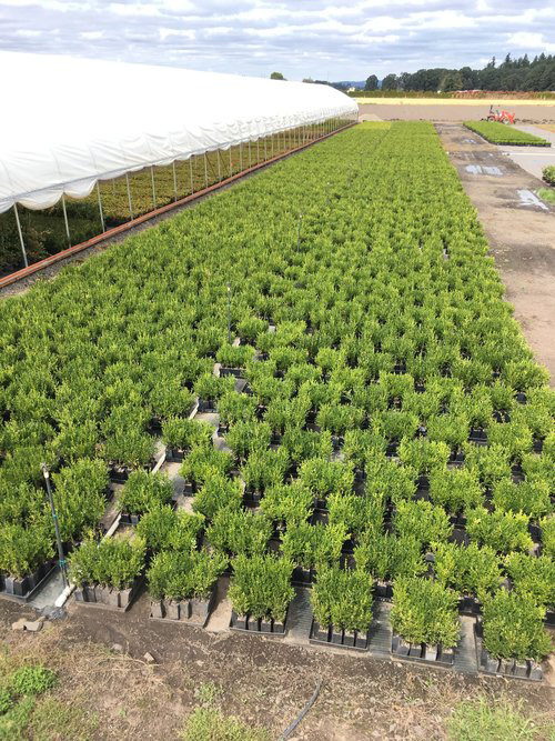 Green Mountain buxus - ready for container planting to create InstantHedges