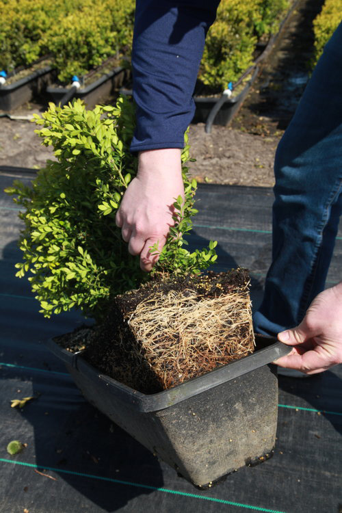 Green Mountain Boxwood root development