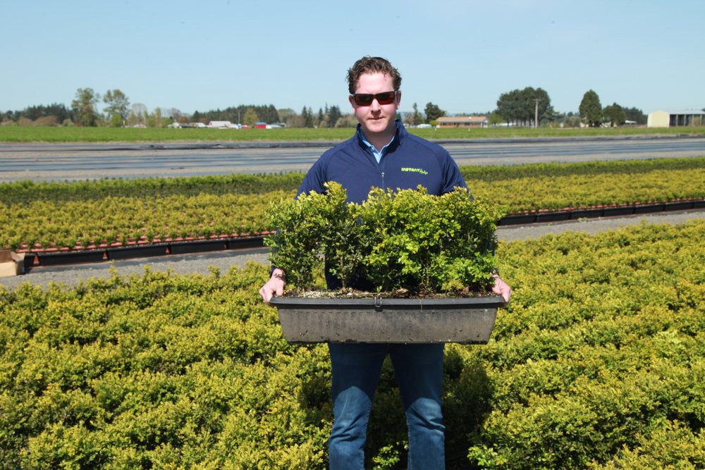 Green Mountain Boxwood hedge unit