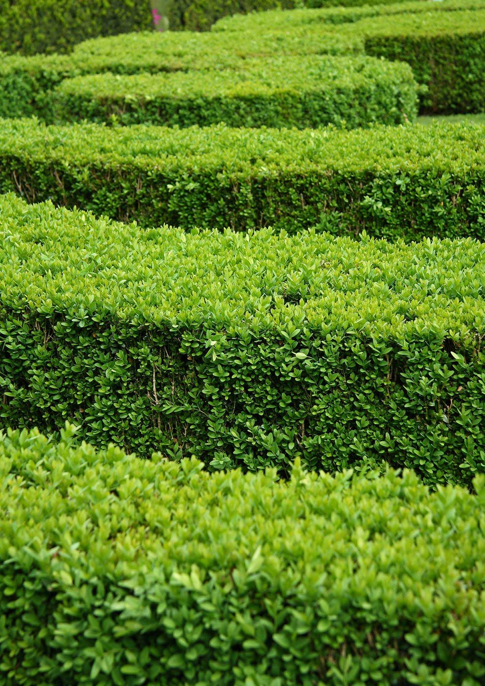 Buxus x. 'Green Mountain' layers border