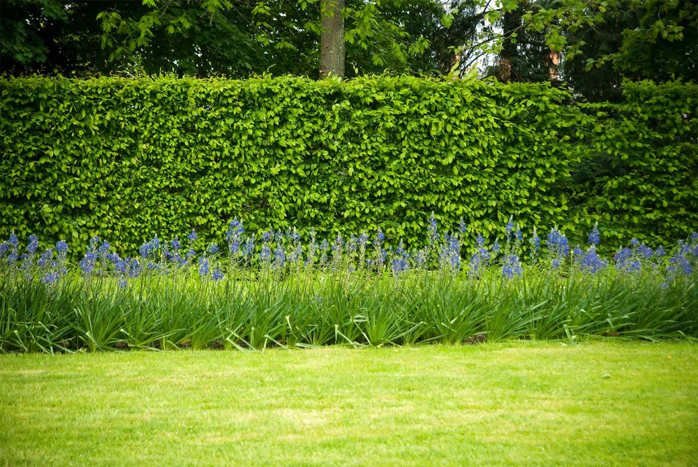 MANTs fagus suburban country garden park