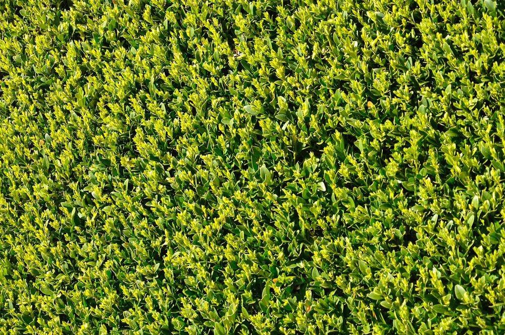 Buxus pruned