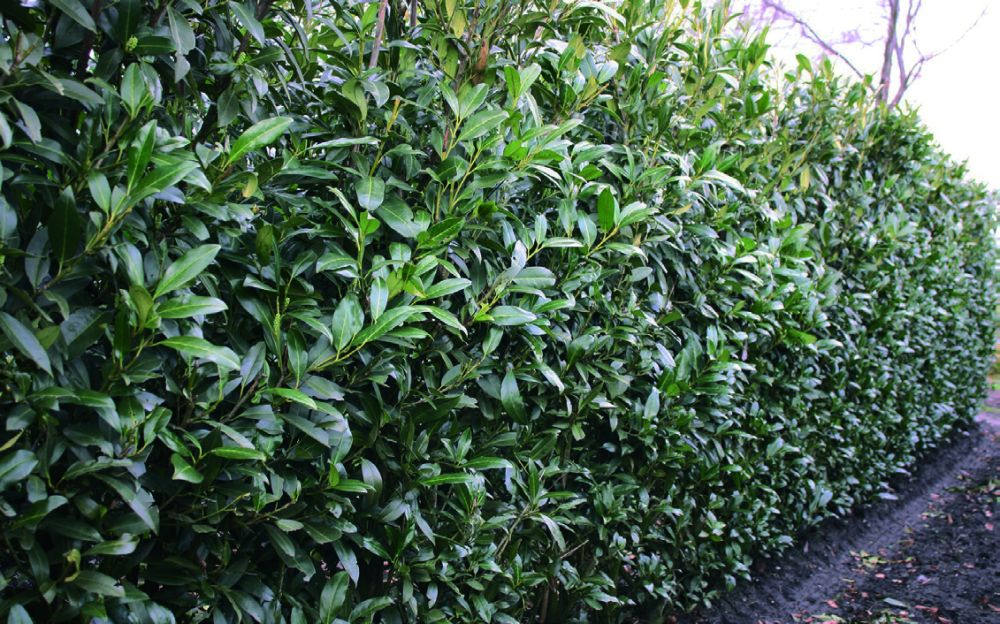 Prunus laurocerasus Herbergii winter