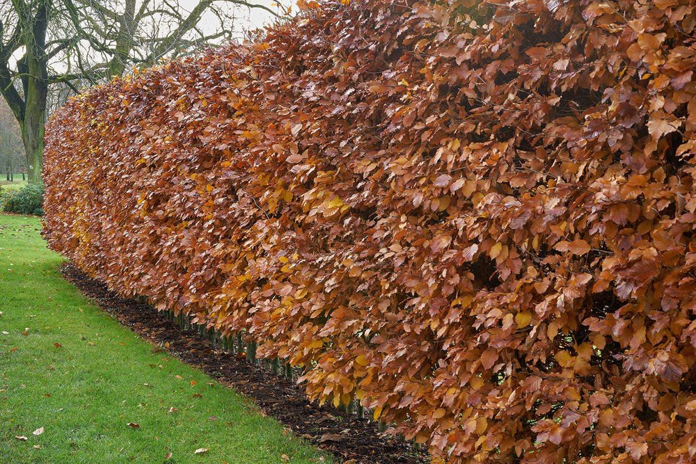 Fagus winter foliage suburban commercial country
