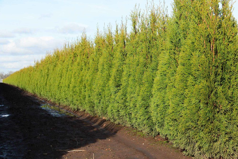 Thuja occidentalis 'Smaragd' - Emerald Green - InstantHedge row ready for harvest