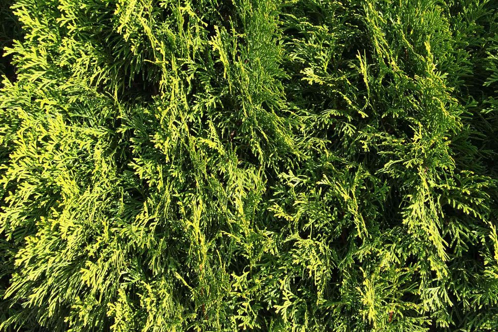 Thuja occidentalis 'Smaragd' - Emerald Green - foliage texture dark green color