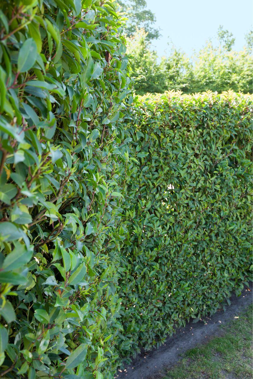 Prunus lusitanica fence hedge estate commercial