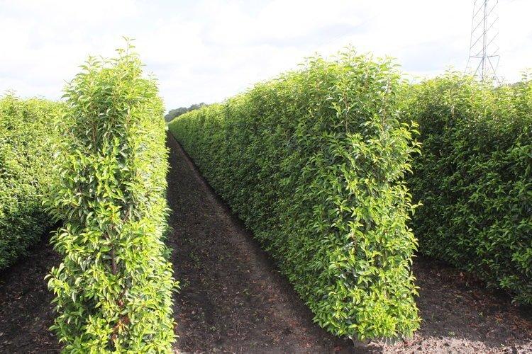 Prunus lusitanica - Portuguese Laurel - InstantHedge Field
