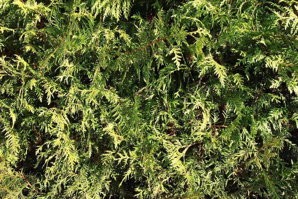 Thuja occidentalis - foliage texture arborvitae