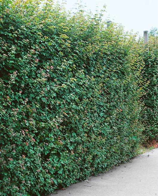 Acer campestre driveway street finished hedge