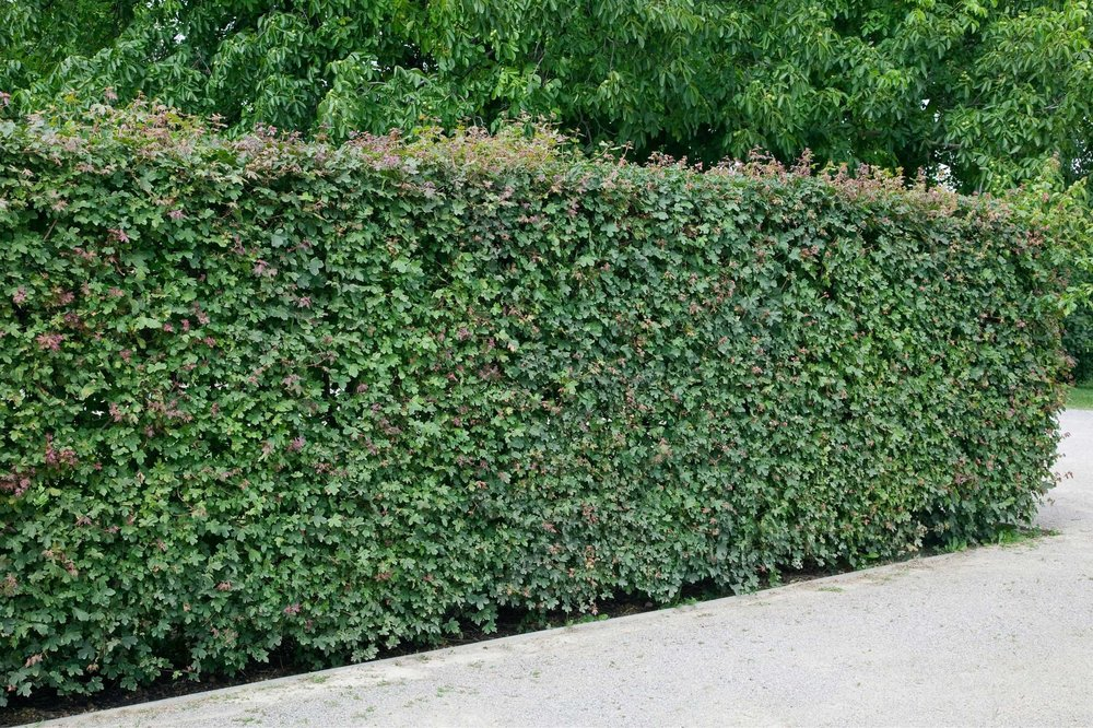 Acer campestre wall driveway InstantHedge