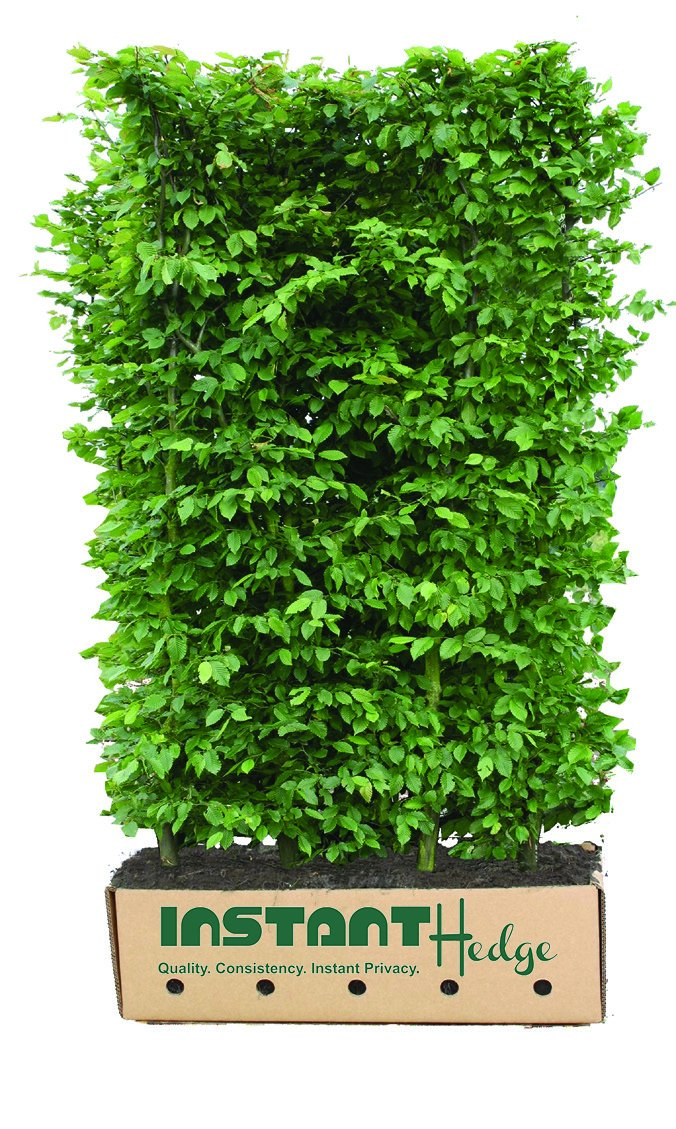Carpinus betulus hornbeam InstantHedge unit ready to ship biodegradable cardboard