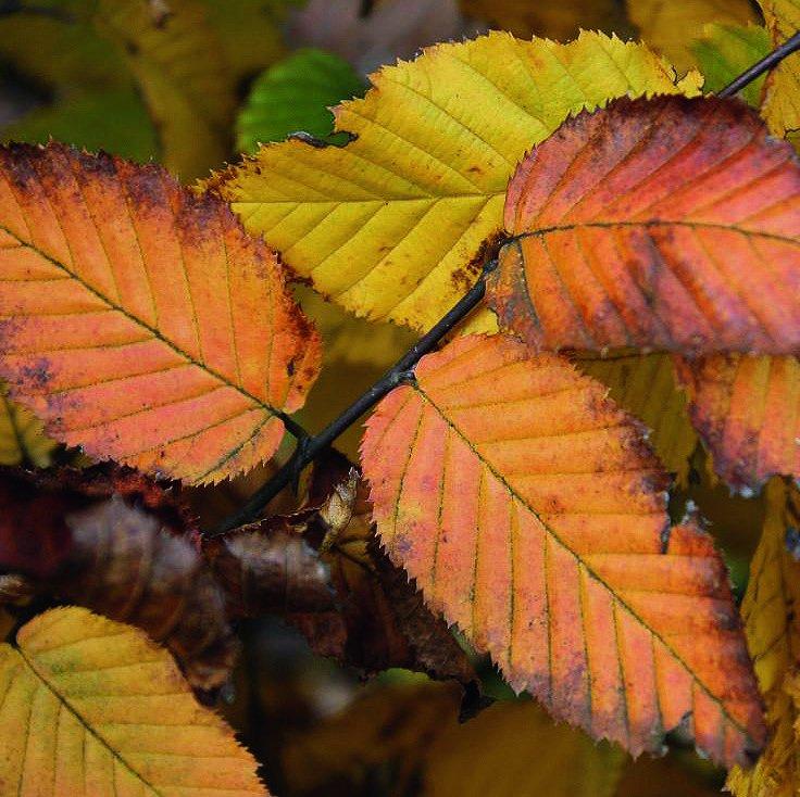 Carpinus betulus fall color display