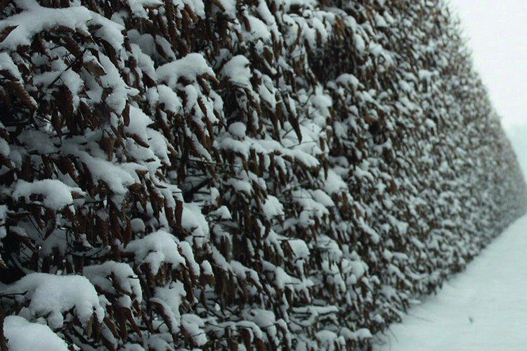 Carpinus betulus winter